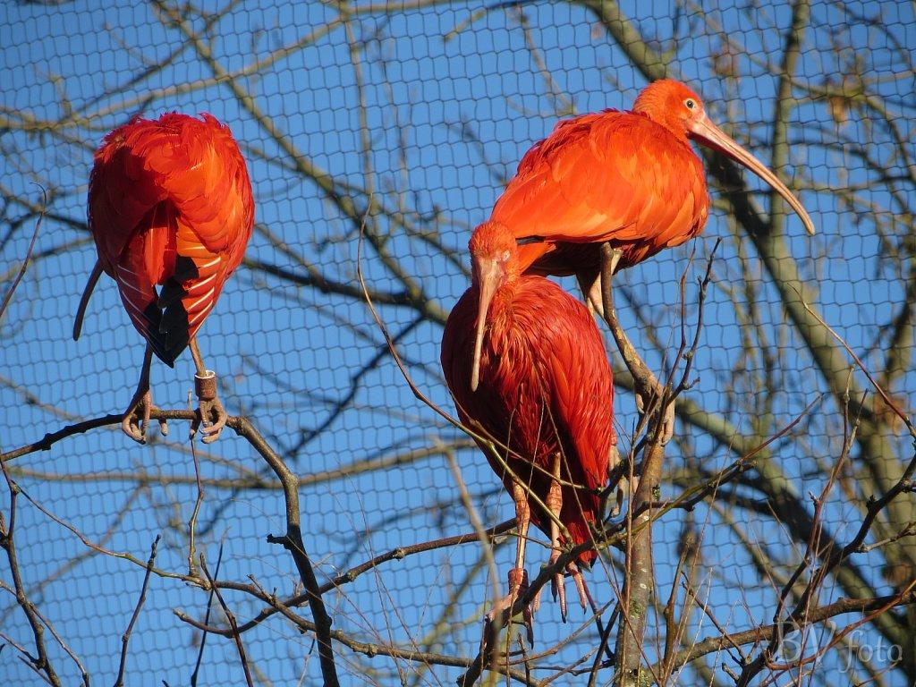 Rød Ibis