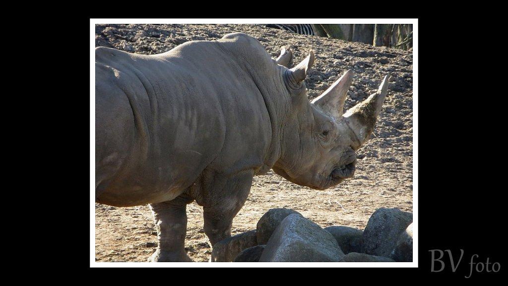 Næsehorn - poster