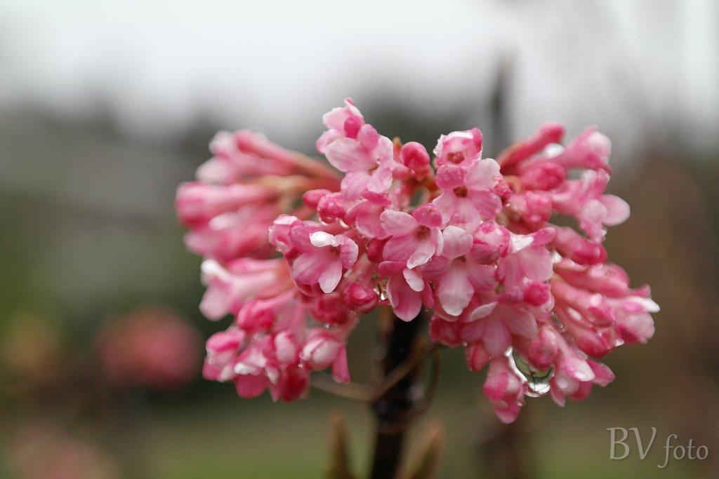 Kejserbusk blomst