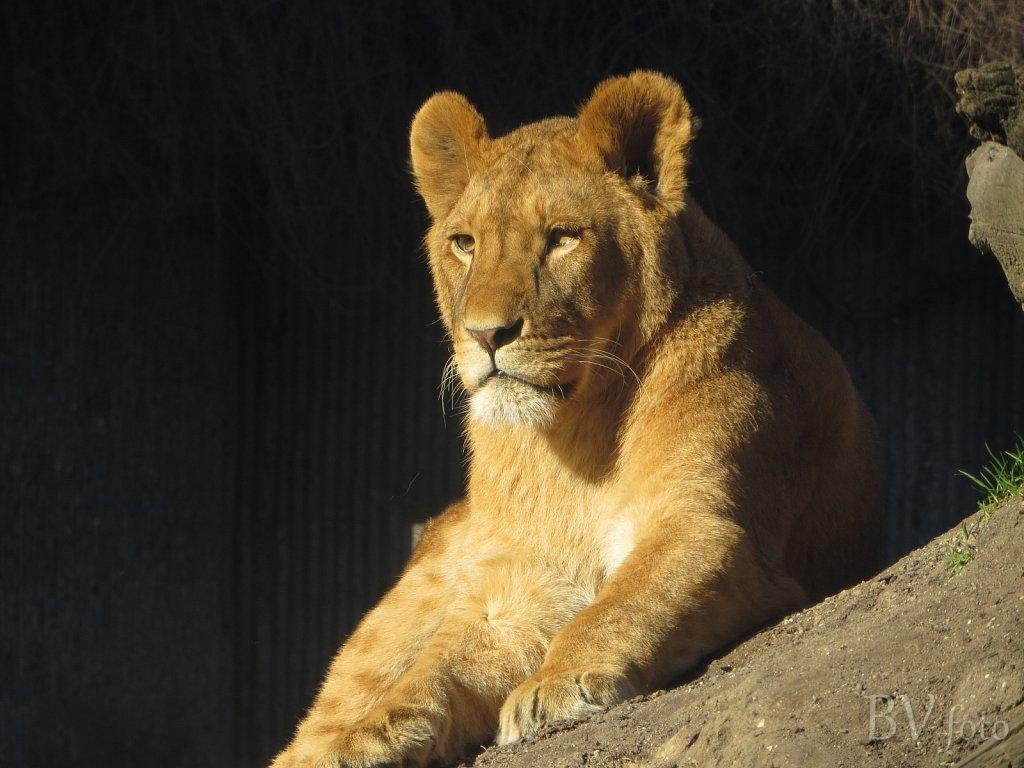 Løve hun