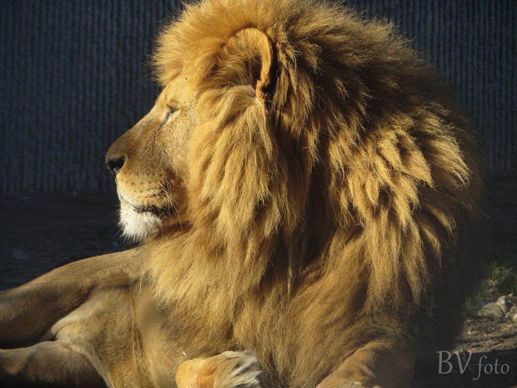 Løve han