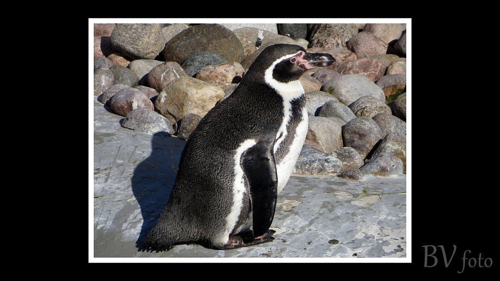 Pingvin - poster