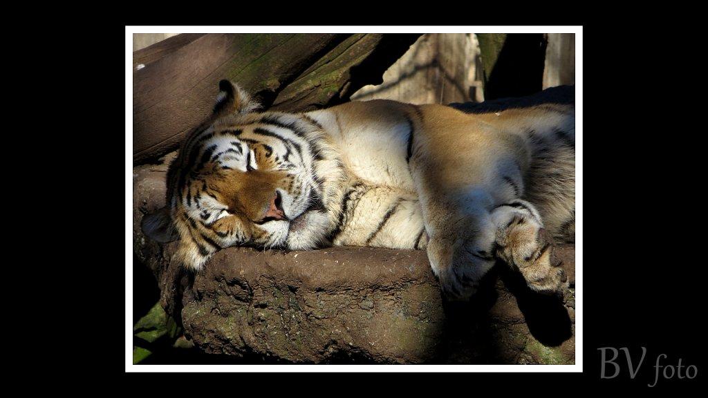 Tiger - poster