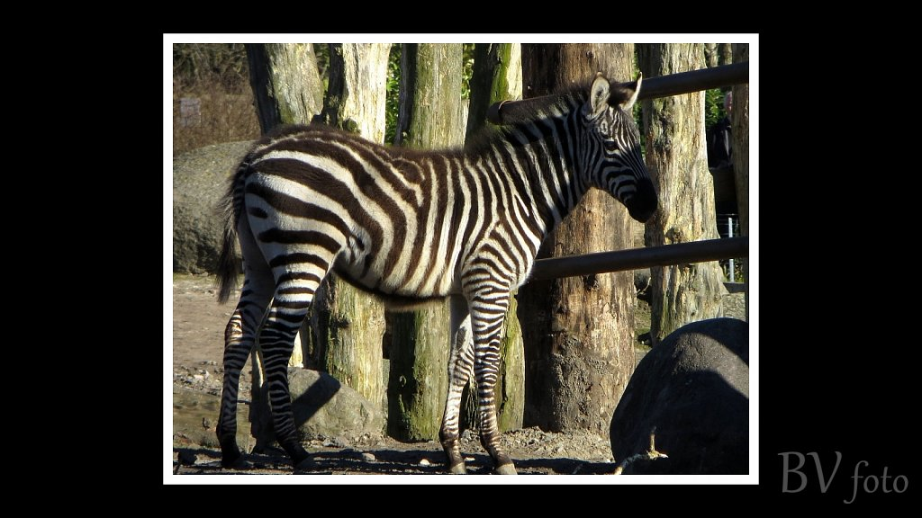 Zebra - poster