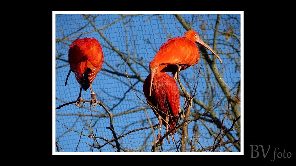 Rød Ibis - poster