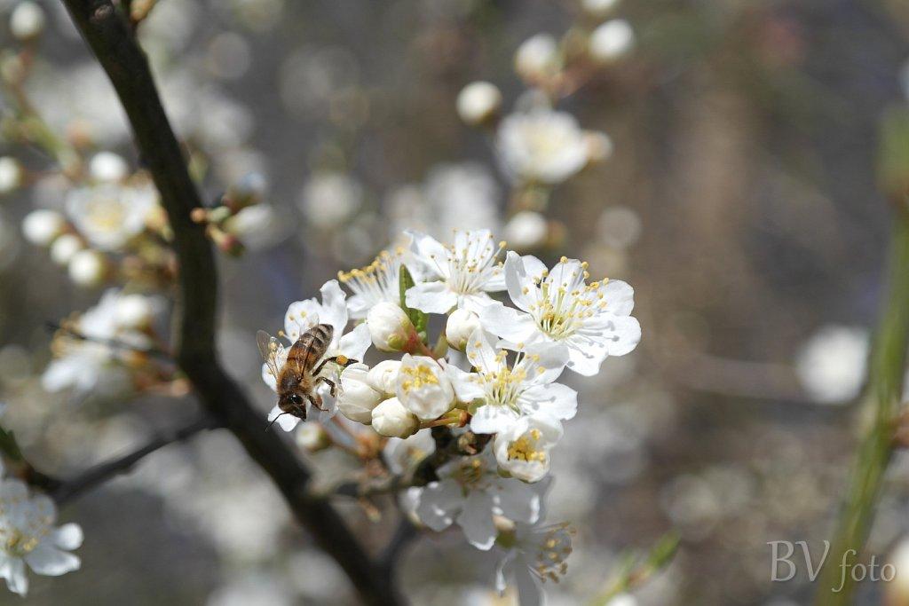 Mirabelle blomst med bi efter nektar